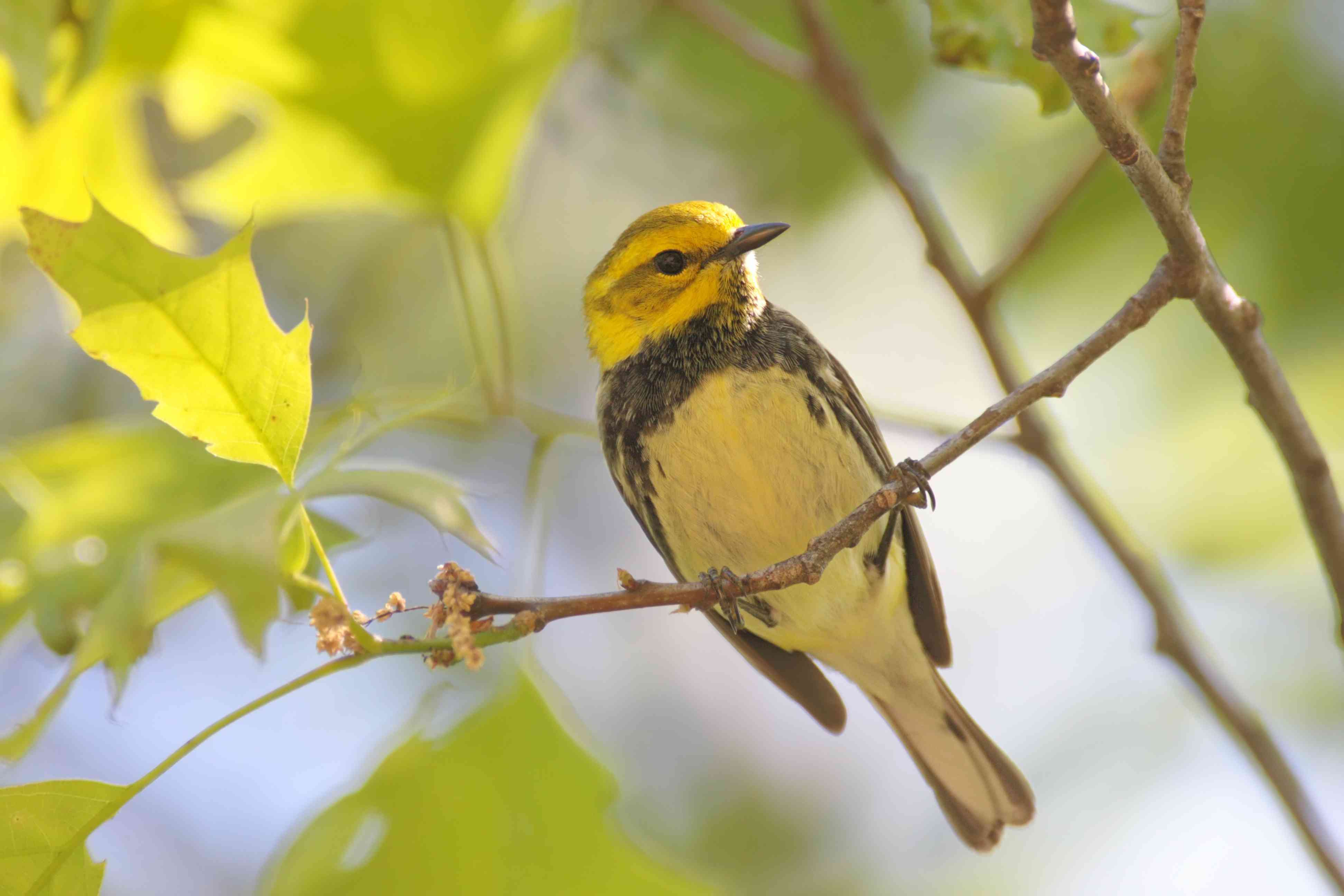 Black-throated green warbler on branch surrounded by leaves