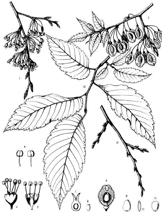 American Elm, Ulmus americana