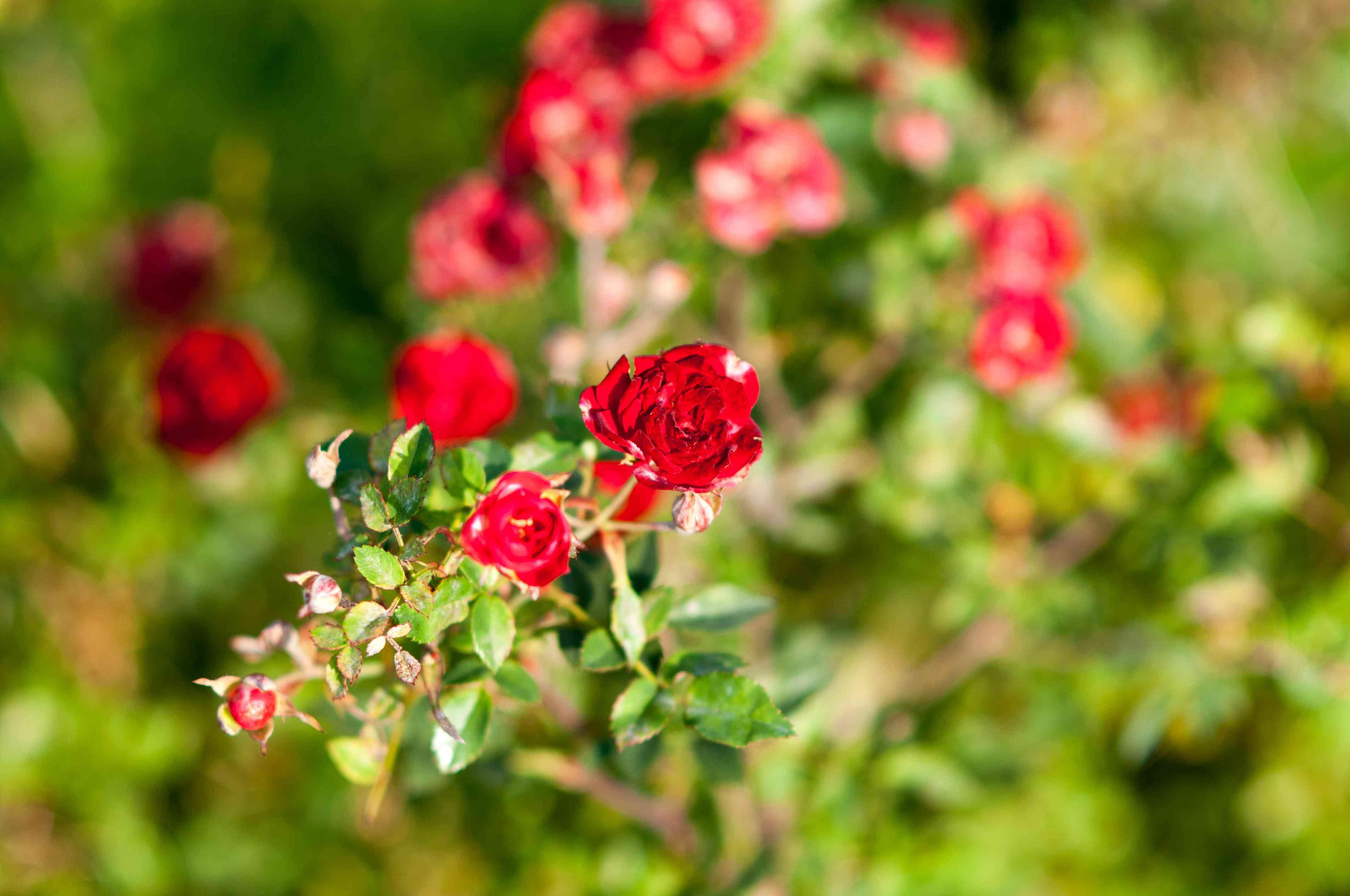 Rosa chinensis 'Minima'. Miniature red roses bush