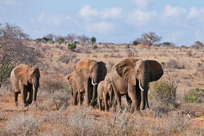 A herd of elephants on the move in arid Tsavo East National Park, Kenya