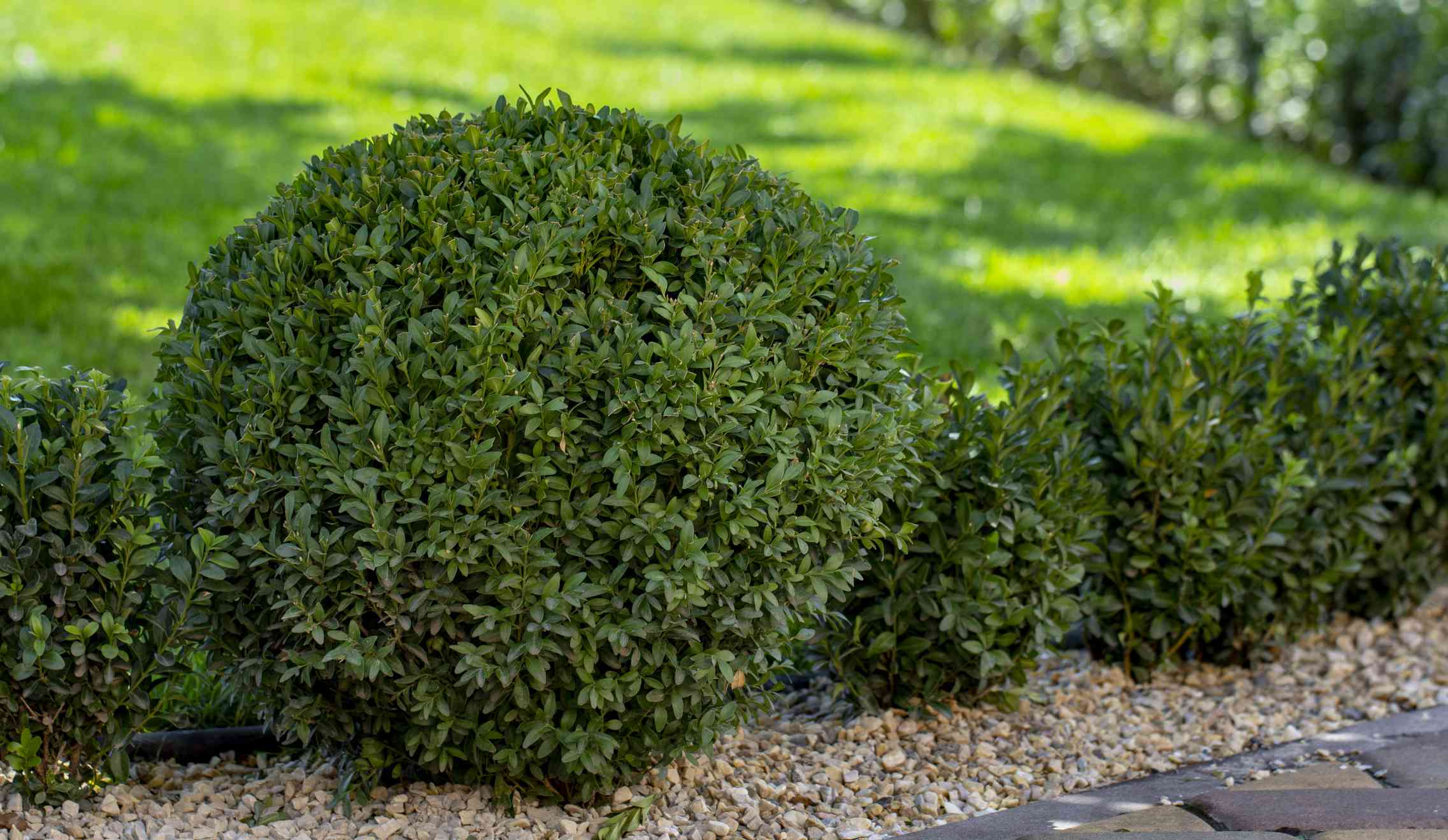 Lawn with plants. Boxwood, evergreen foliage plant