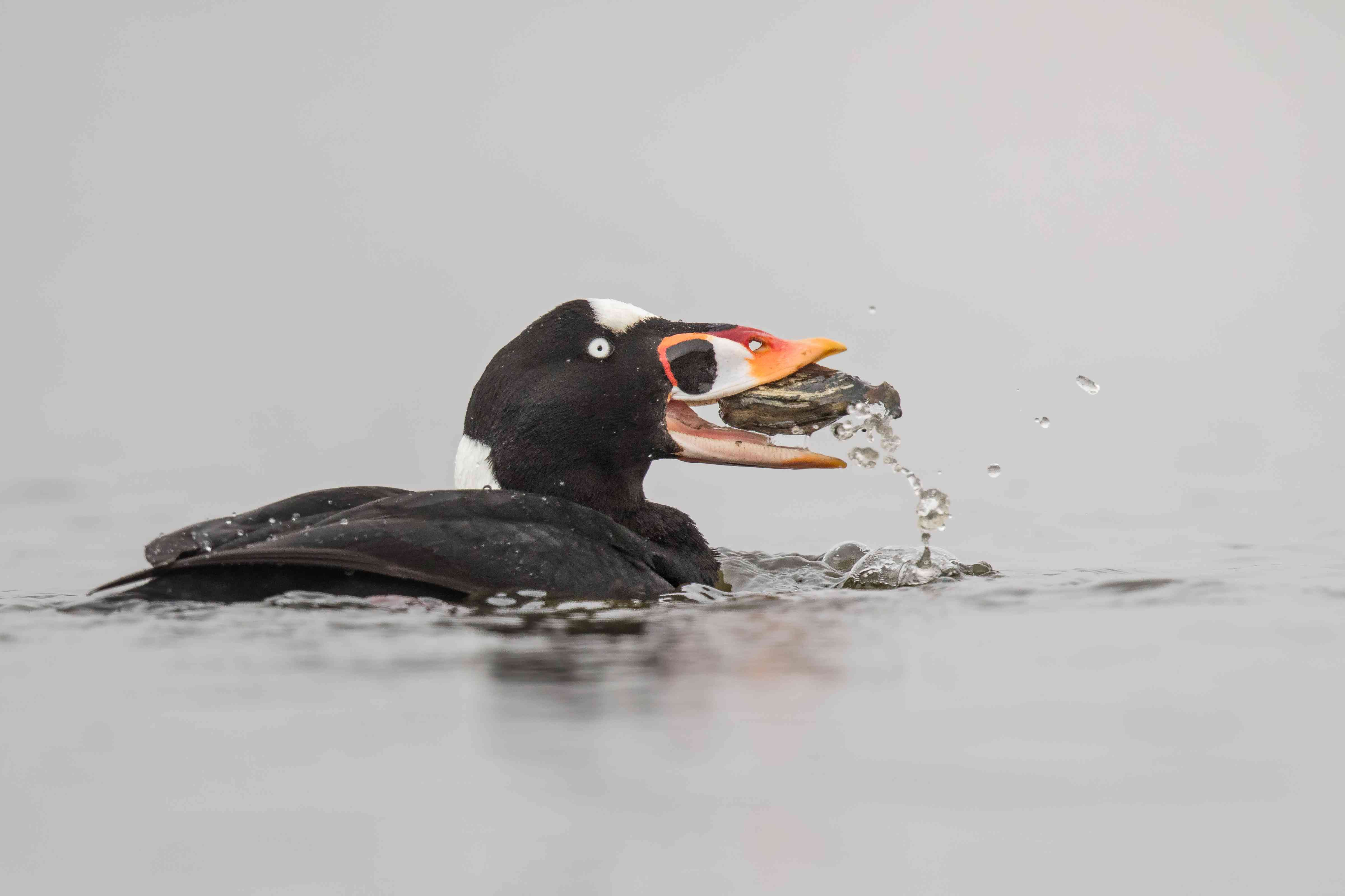 Surf scoter eating a clam