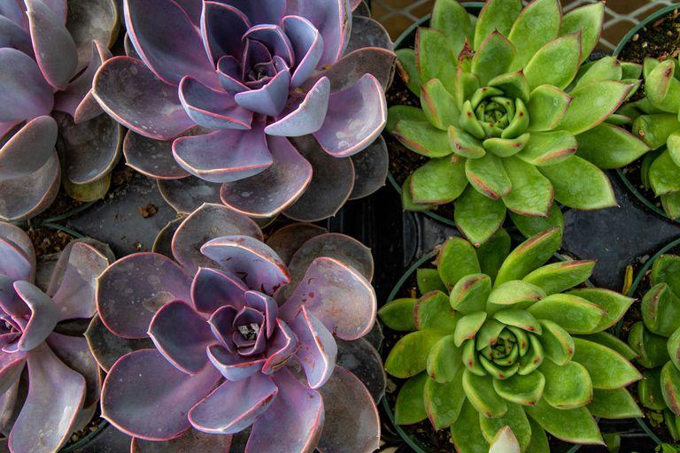 Echeveria succulents in purple and green in plastic pots