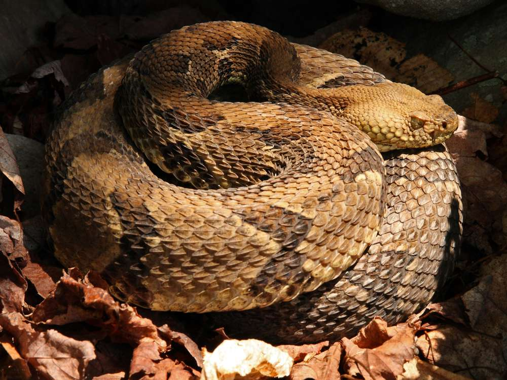 Timber rattlesnakes seem particularly sensitive to this fungal infection.