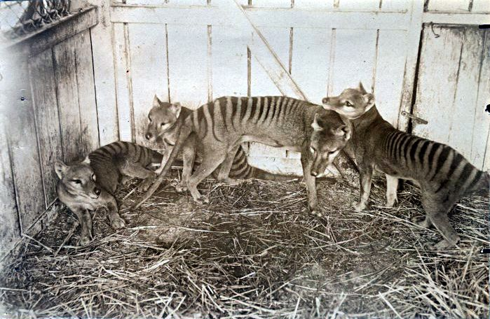 A family of Tasmanian tigers as photographed at the Beaumaris Zoo in Hobart, 1910.