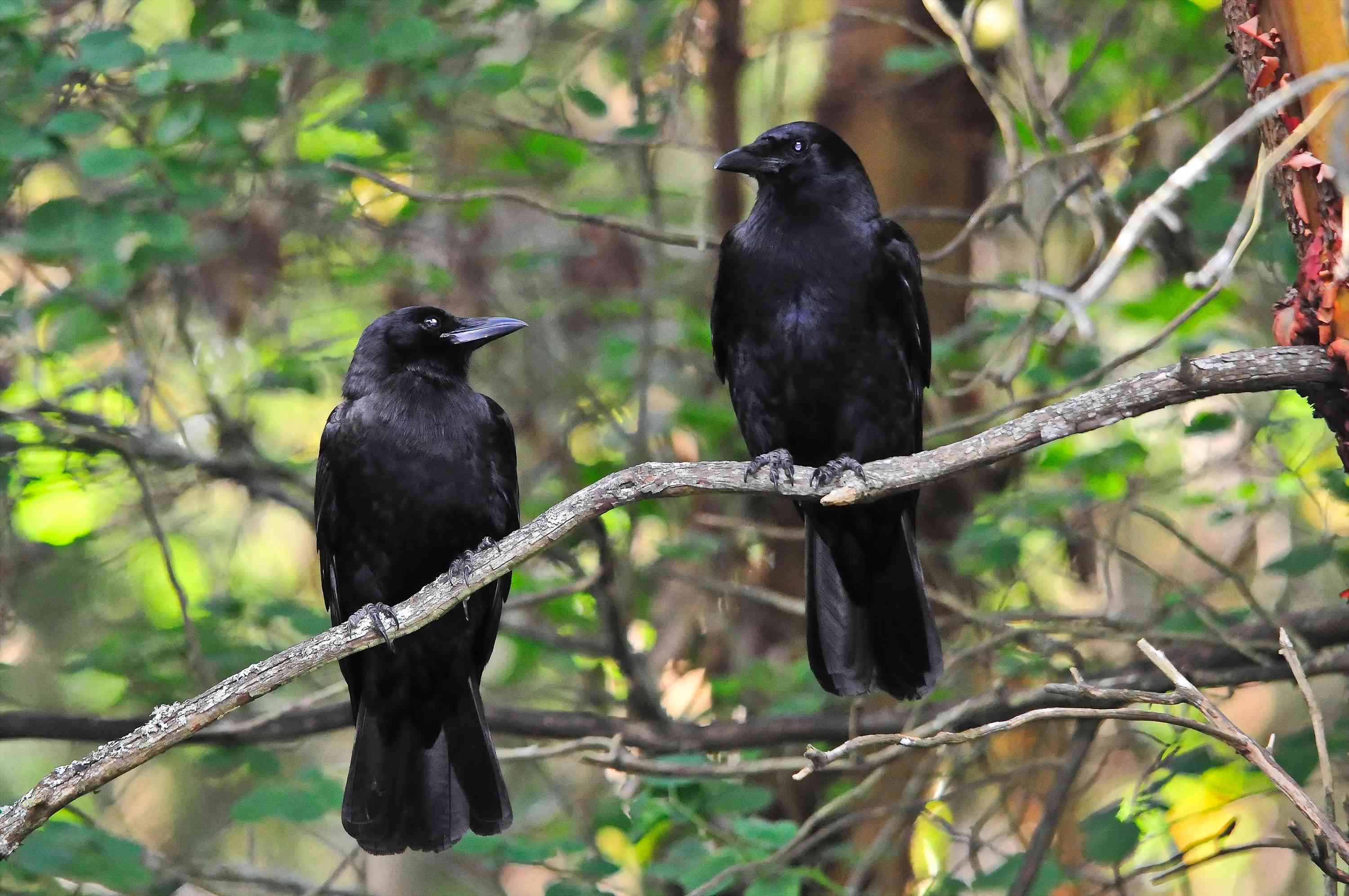 mated pair of crows perching in a tree in Washington state