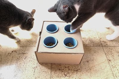 two gray cats play with DIY feeder cardboard box on floor