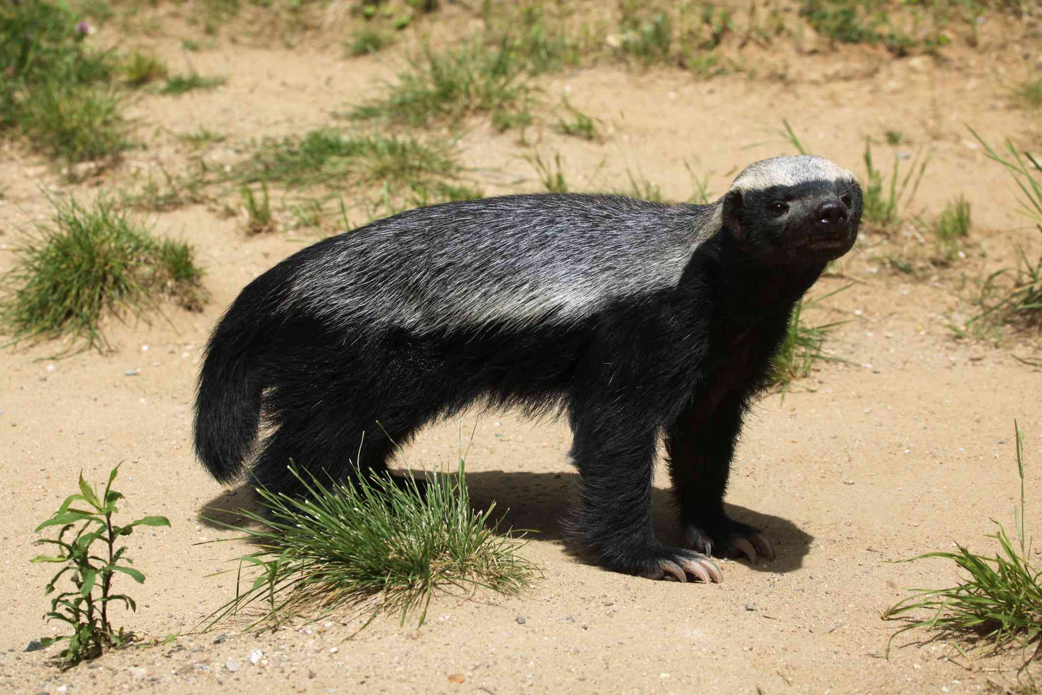 honey badger standing in a sandy habitat with small green plantws