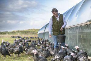 Farmer feeding turkeys on farm