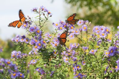 Close-up Monarch butterflies resting on flowers
