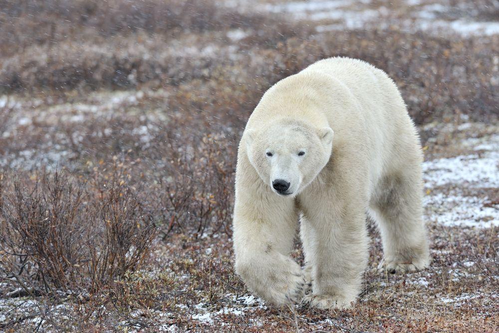 polar bear walking on tundra