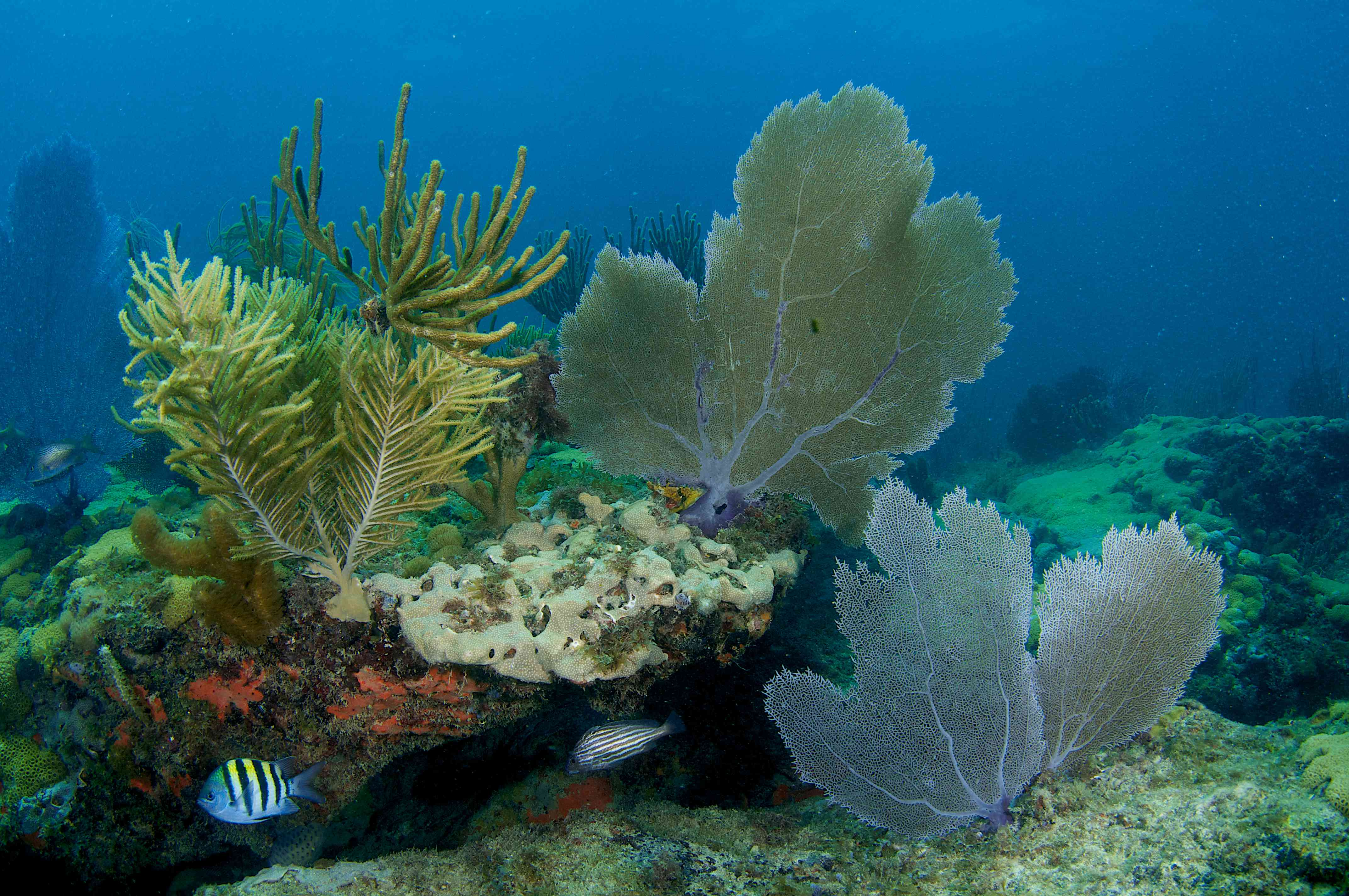 Sponges, Sea Fans and Sea Rods make up a coral composition. Picture taken in Broward County Florida.