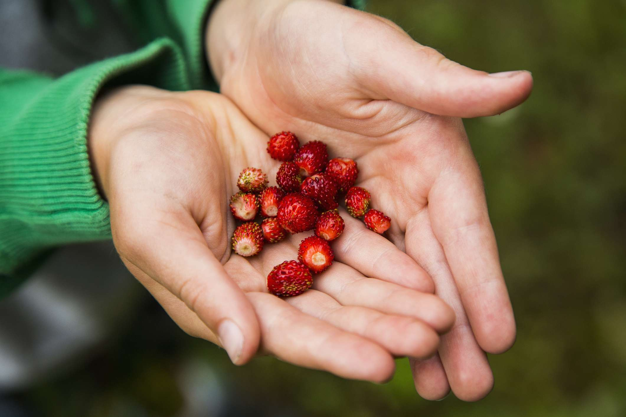 Cropped hand of person holding fresh wild strawberries