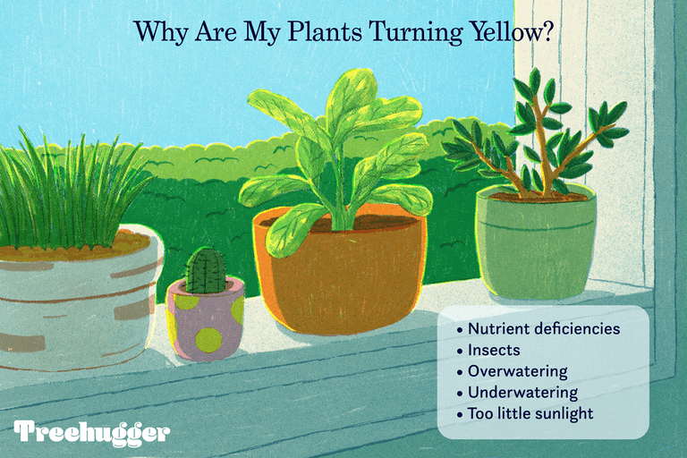 why are my plants turning yellow illustration