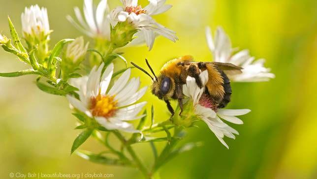 9 hechos extraordinarios sobre las abejas nativas de América del Norte