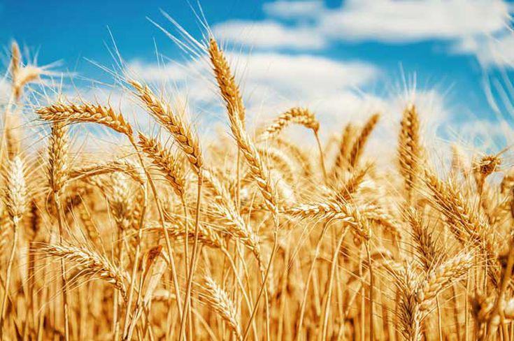 How Wheat Changed the World
