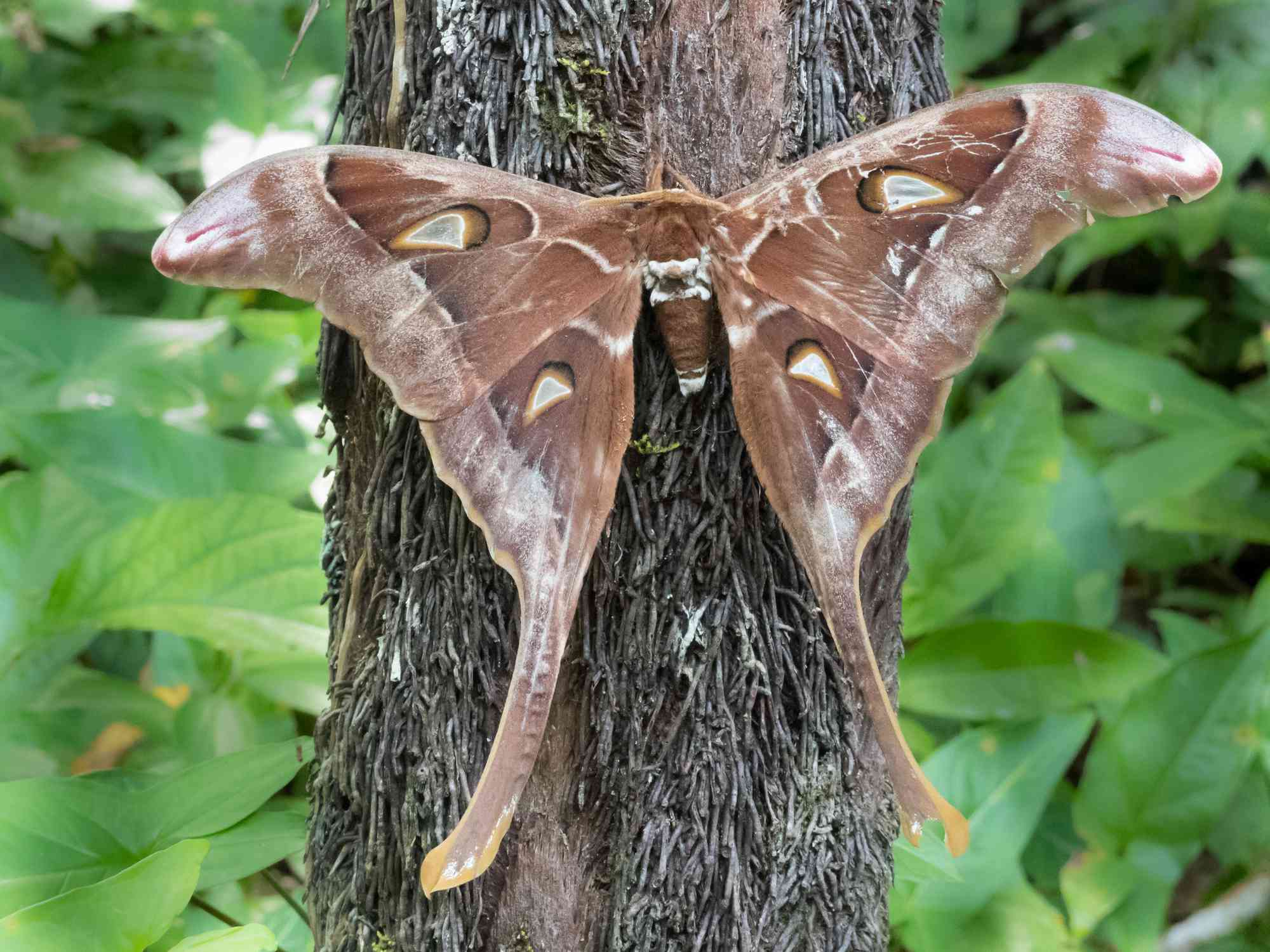 A large brown moth rests on a tree trunk