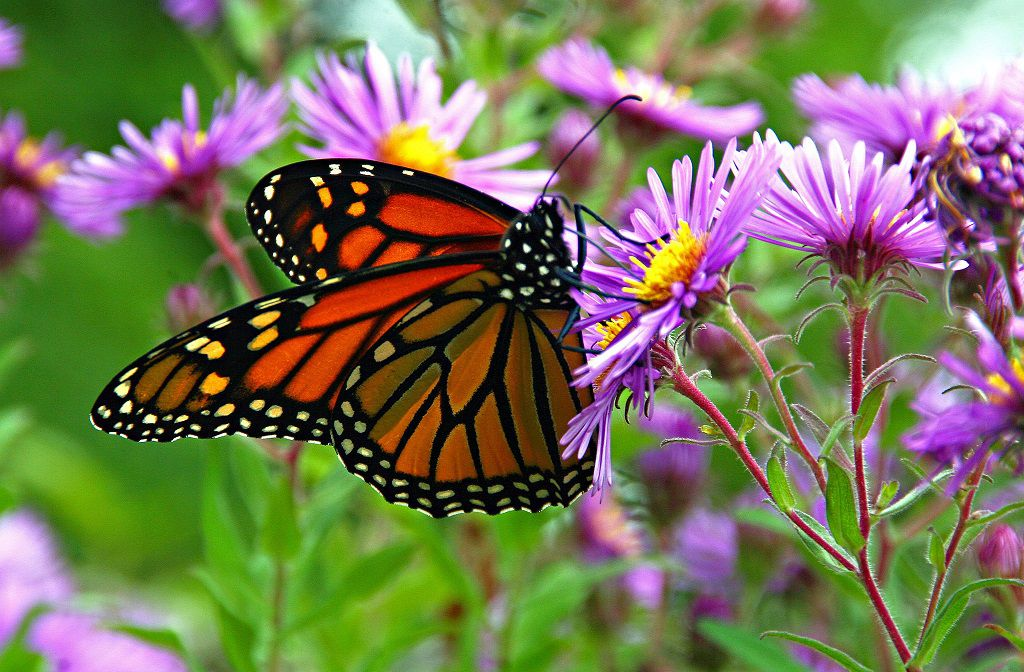 an orange and black monarch butterfly on a bunch of purple flowers