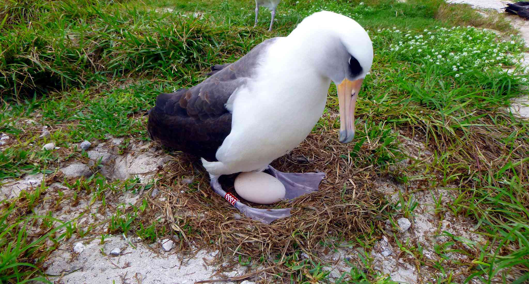 Wisdom the world's oldest known banded, breeding bird