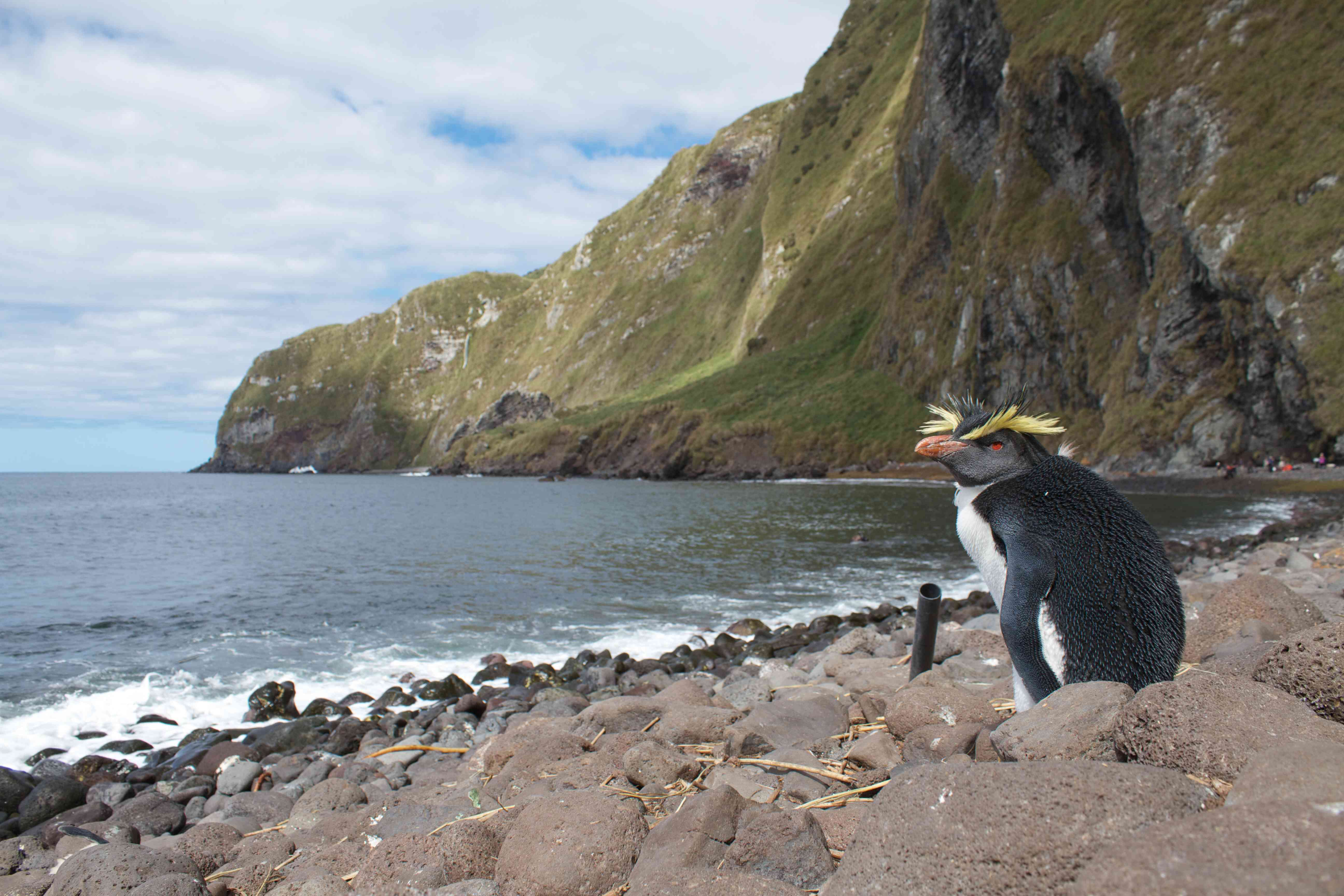 A penguin with yellow crests on its head sits on a rocky coastline