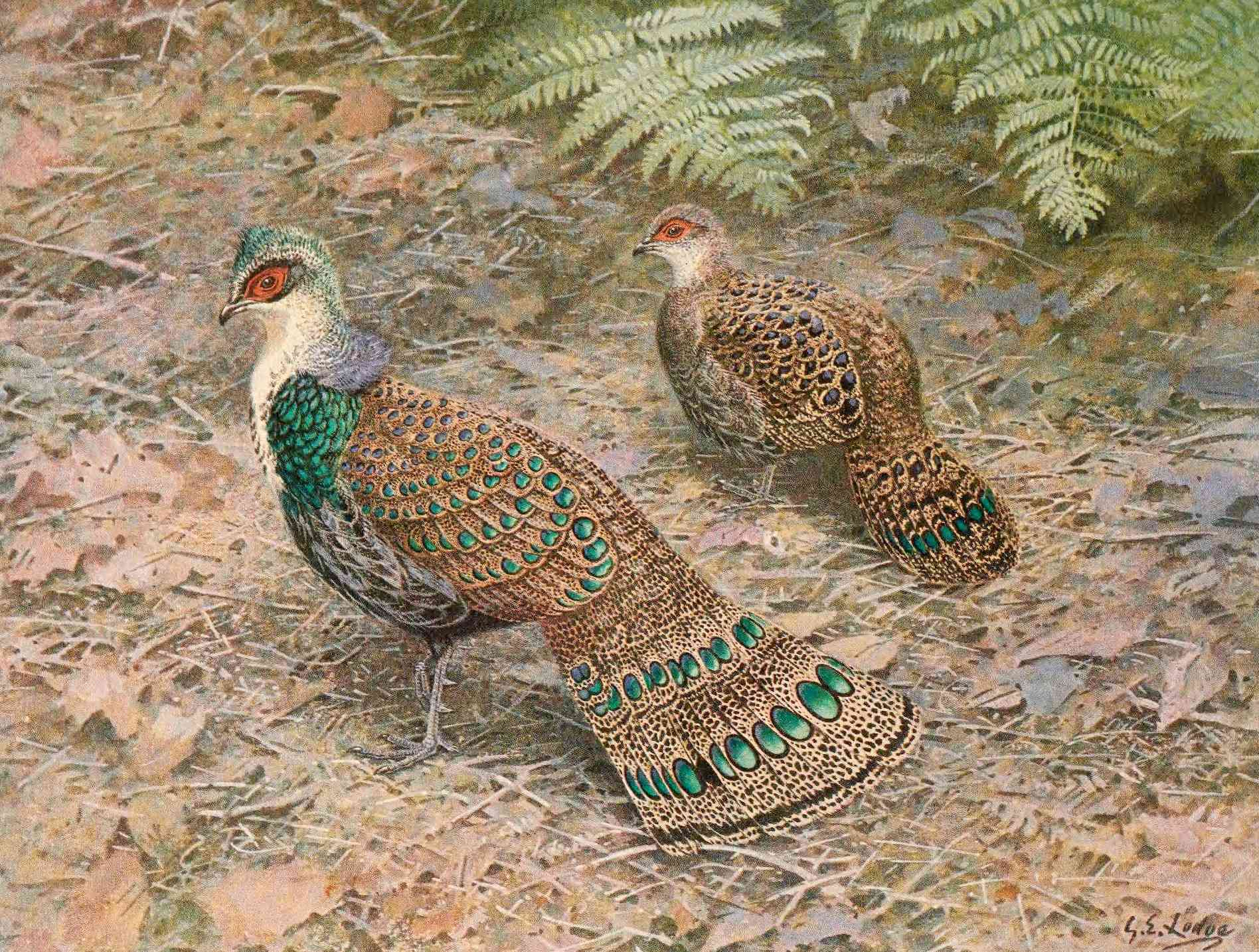 A monograph of two Bornean peacock-pheasants, one male, with vivid green coloring, and one female, with more subtle brown coloration.