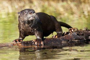 River Otter On Log