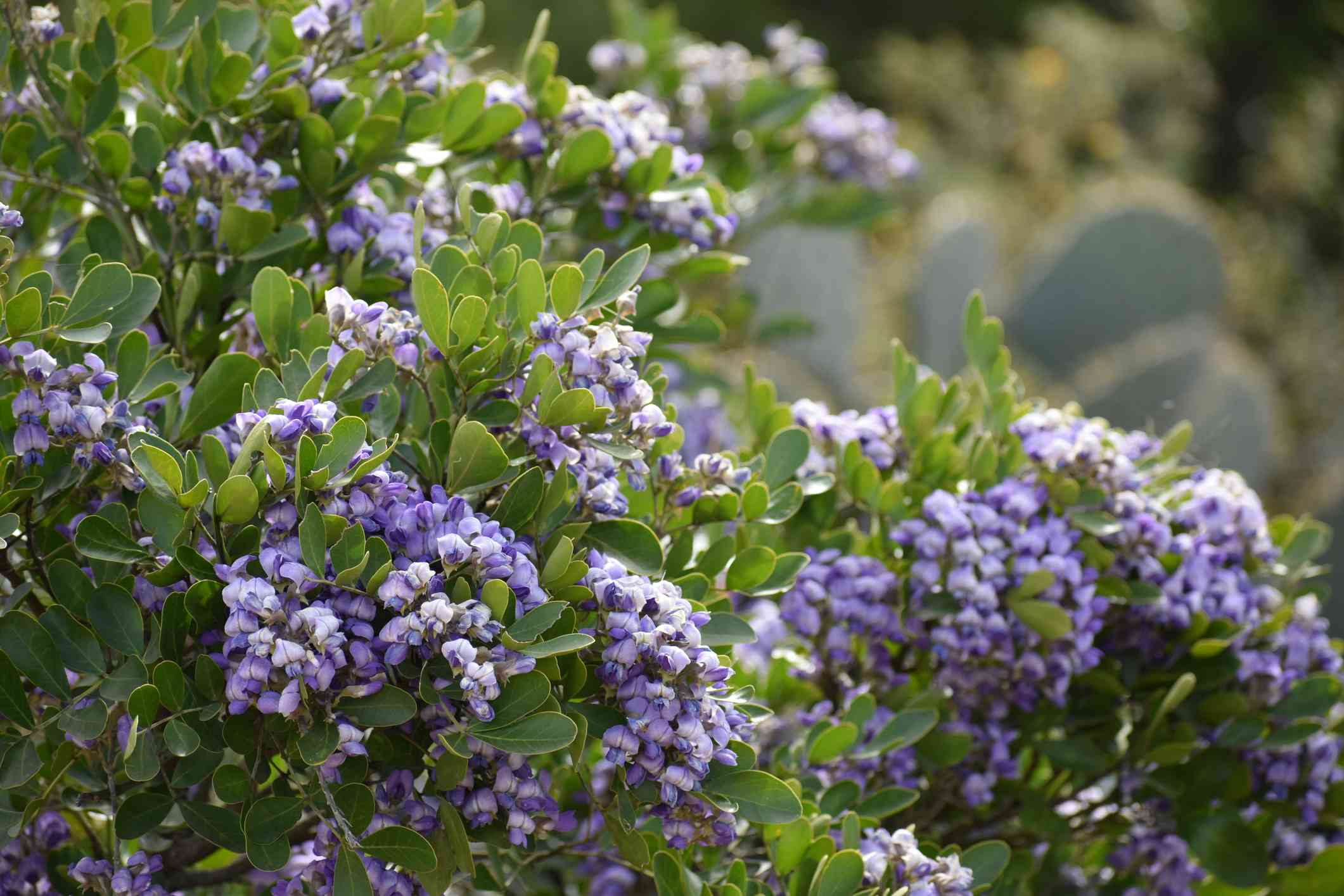 Texas Mountain Laurel with purple flowers