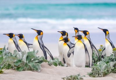 Group of king penguins on the beach on the Falkland Islands