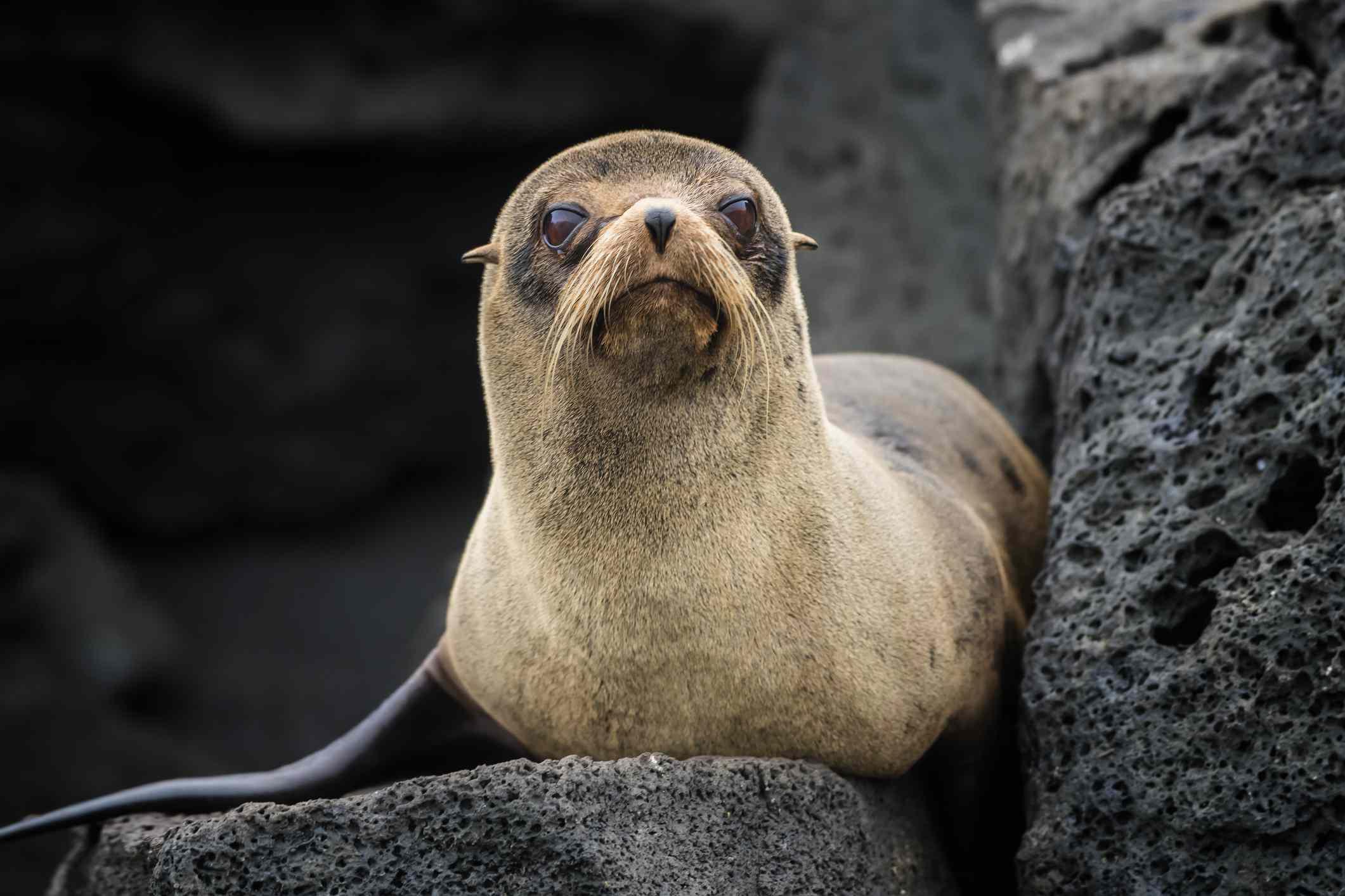 Galápagos fur seal (Arctocephalus galapagoensis) at Isabella Island