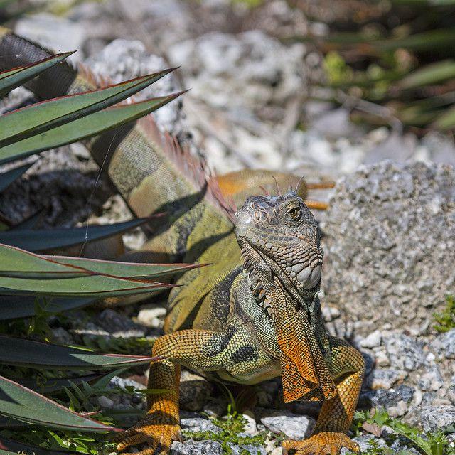 Está lloviendo iguanas en Florida
