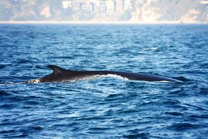 Finback or Fin Whale Swimming the Waters Outside Dana Point, California