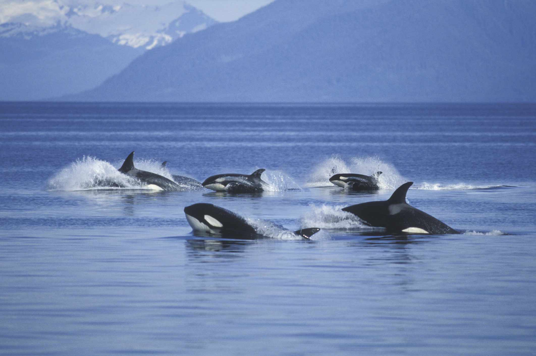 pod of orca whales jumping from ocean in front of mountains