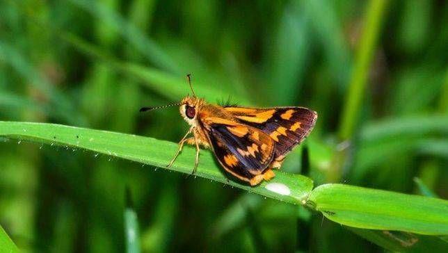 Black Grass-Dart Butterfly