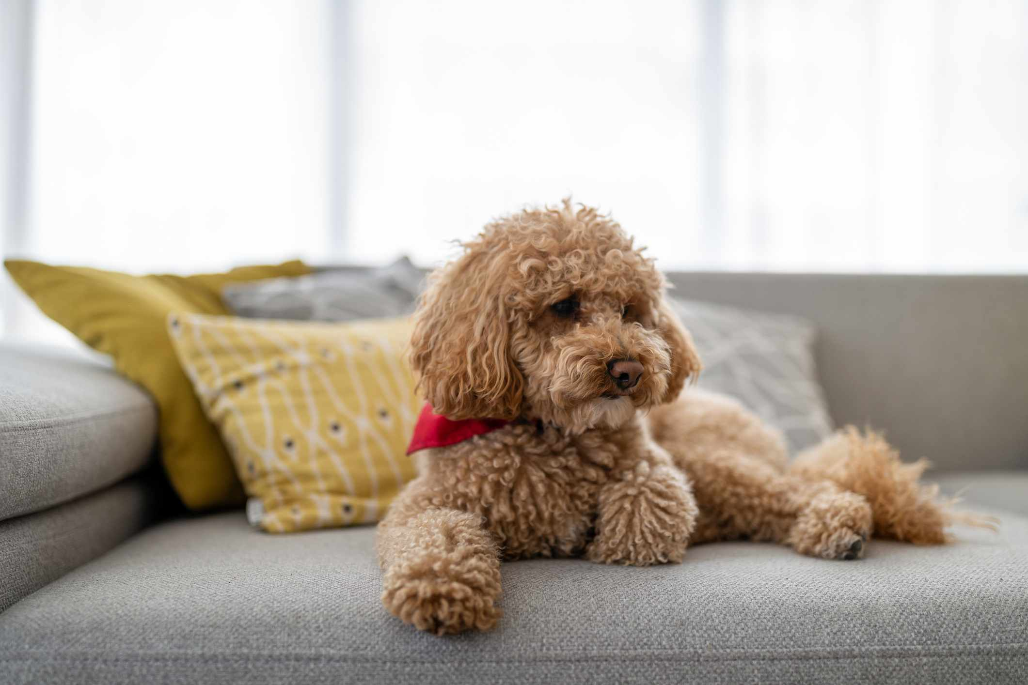 tan toy poodle with red bandana lying on gray couch in sunny room