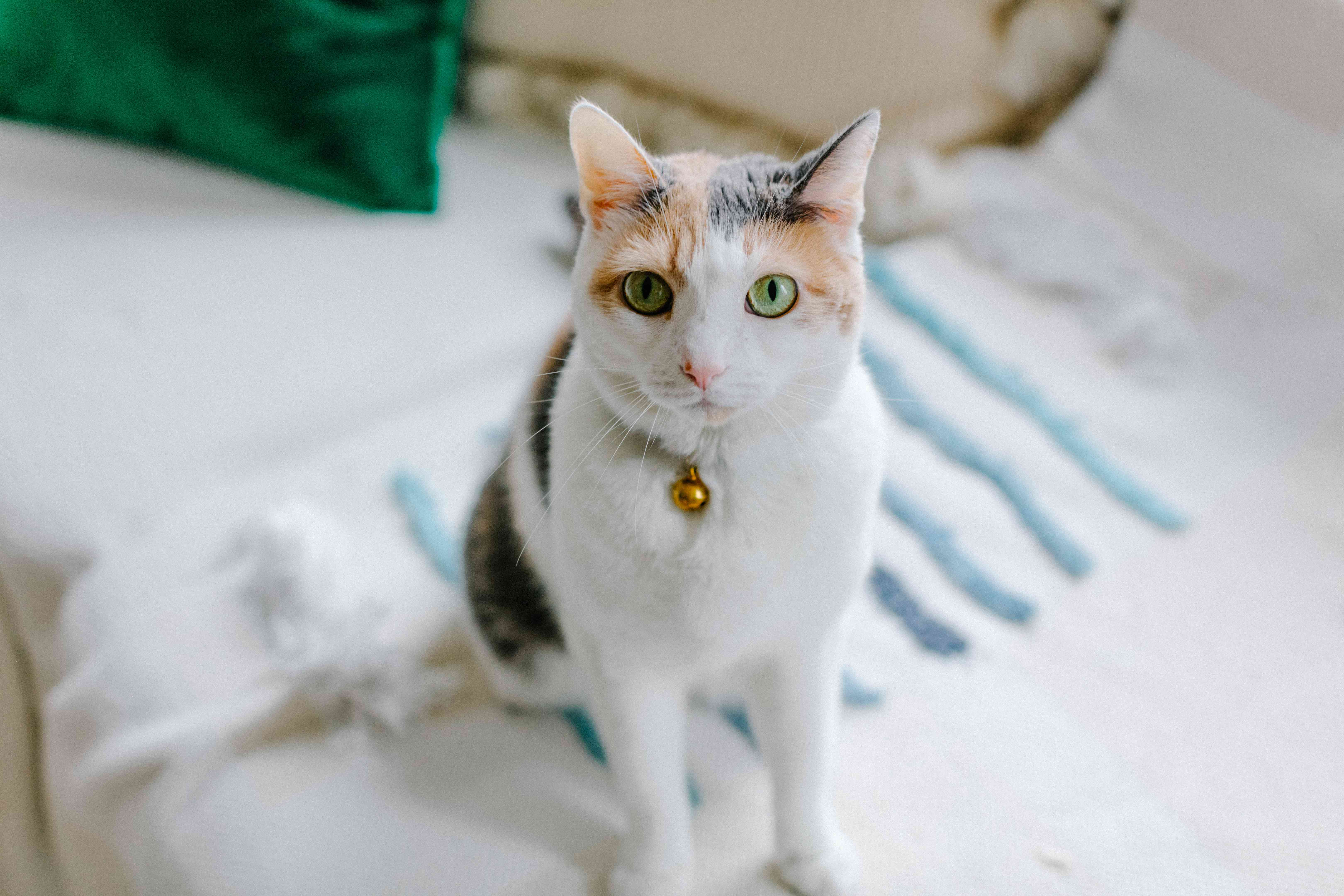 calico kitty cat sits on white couch with striped blanket and stares at camera person