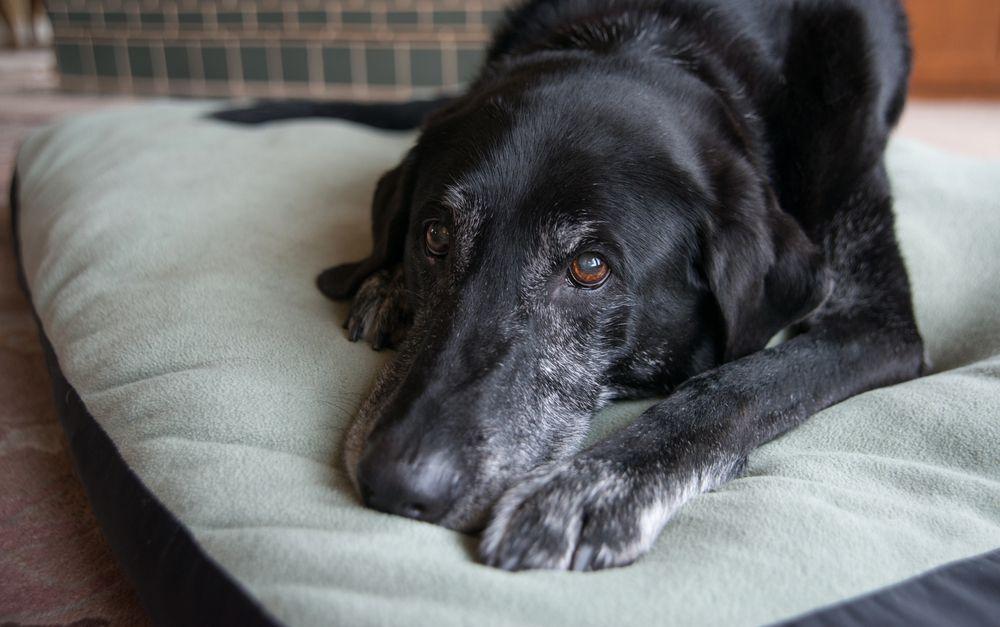 Old black dog lying on a dog bed