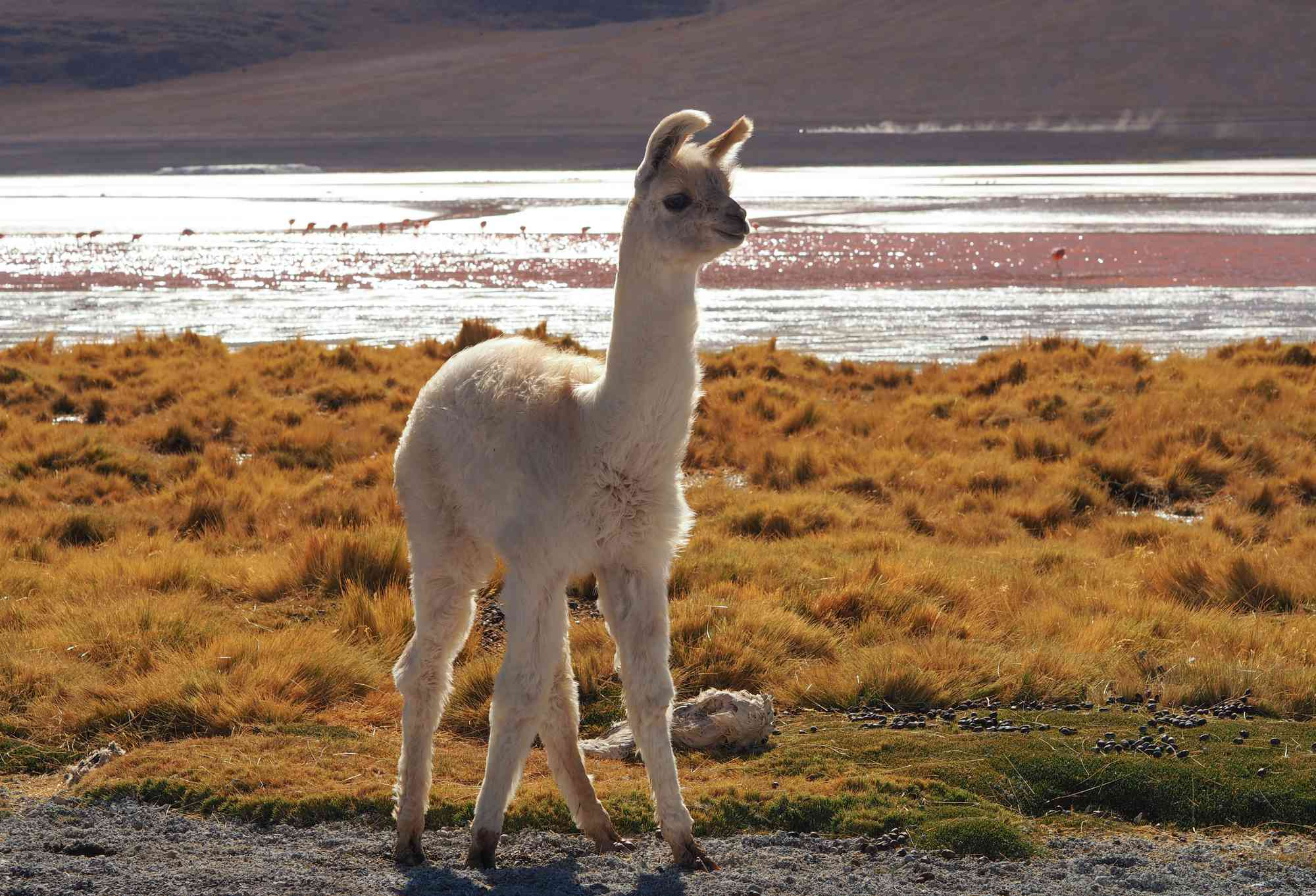 A young alpaca surveys the surroundings at Laguna Colorada, Uyuni, Bolivia.