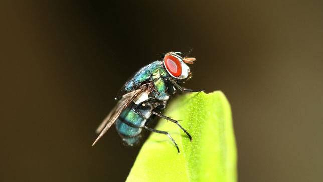 Cómo deshacerse de las moscas domésticas naturalmente