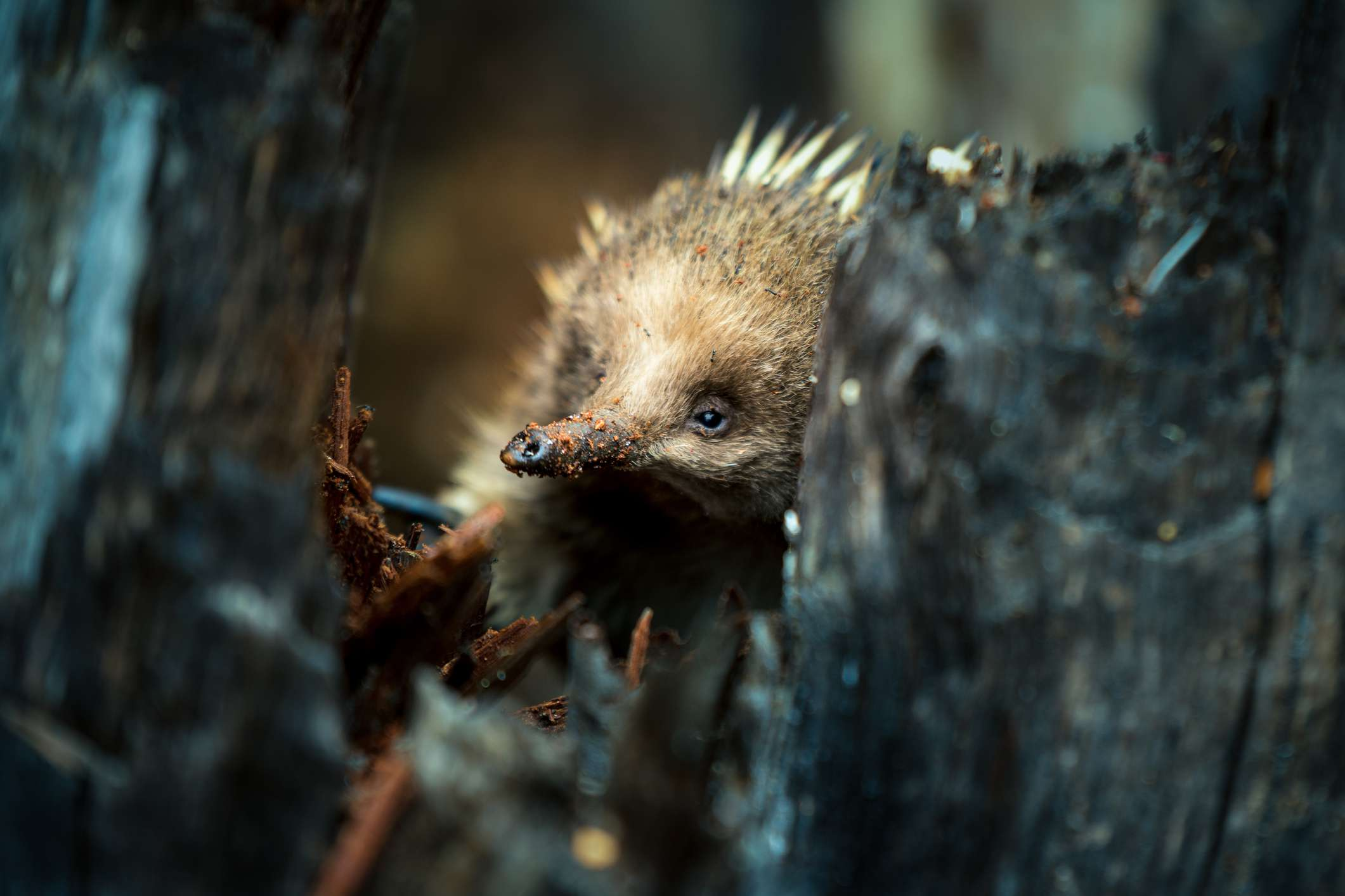 Close up of an echidna digging for food in tree trunks
