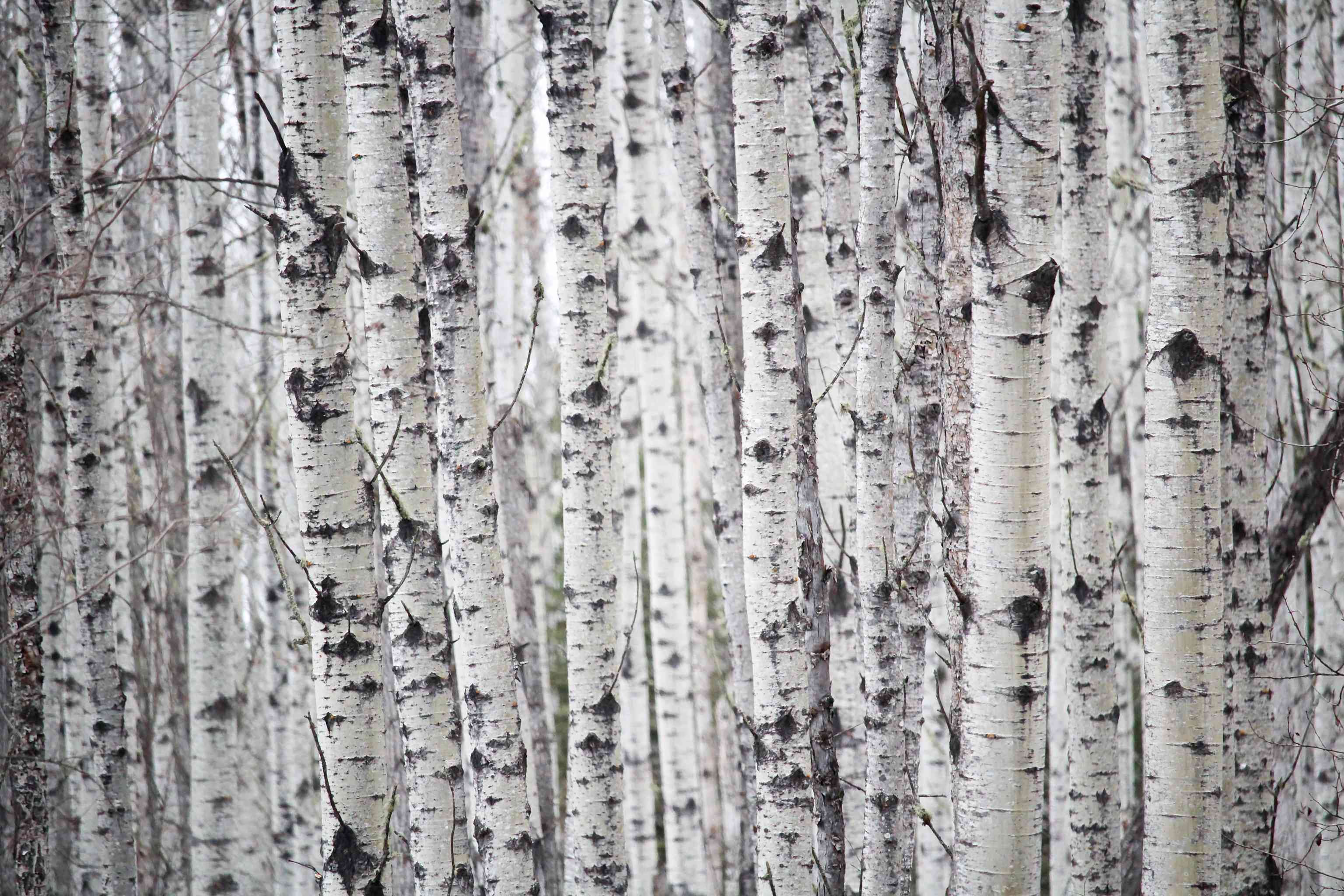 A grove of birch trees covered with lenticels