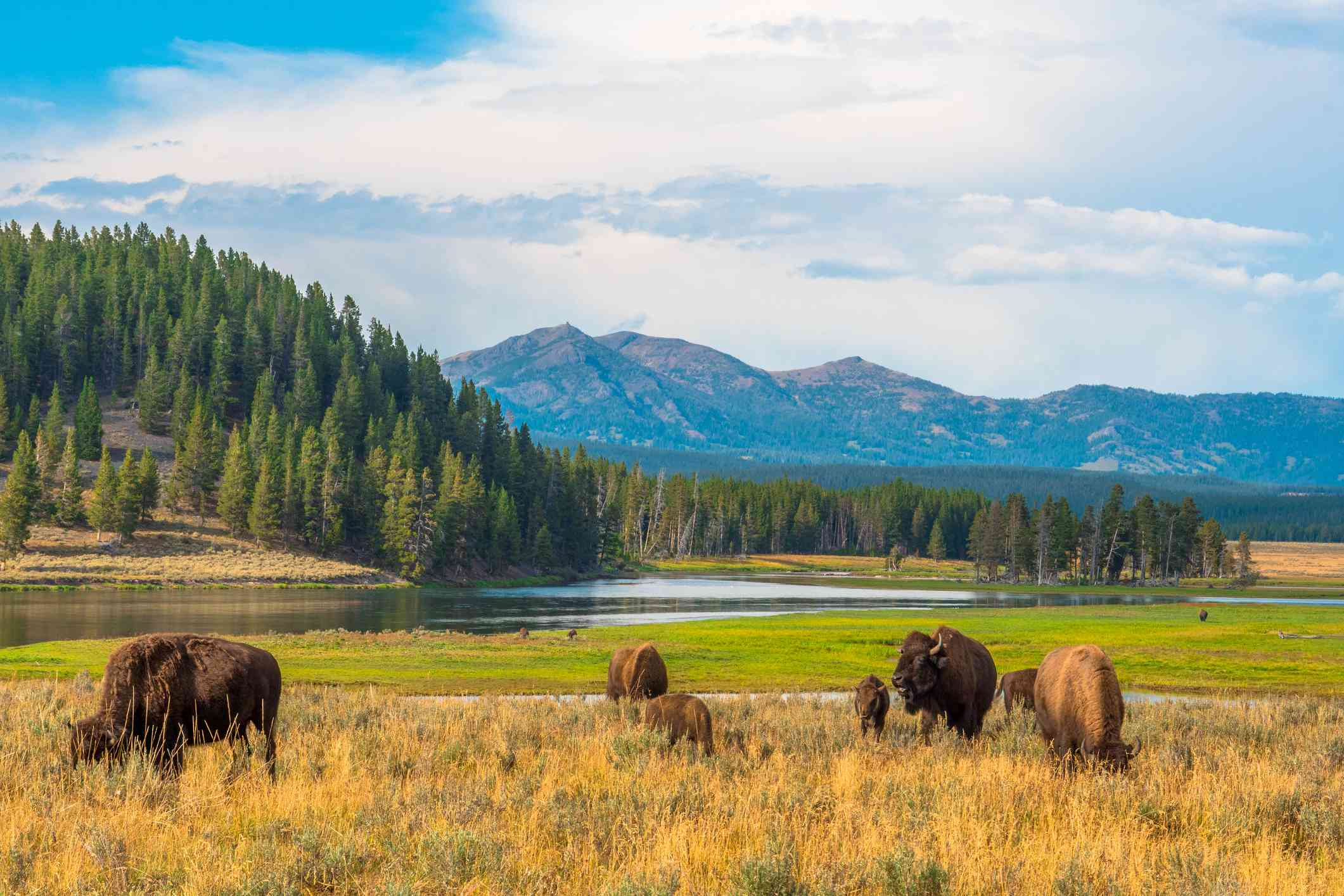 Buffalo grazing in a field with a waterway, a forest of evergreens, and mountains in the distance under a blue sky with white clouds at Hayden Valley, Yellowstone, National Park, Wyoming