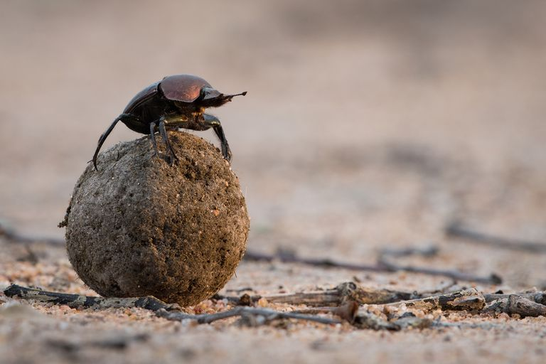 dung beetle standing on a ball created from manure