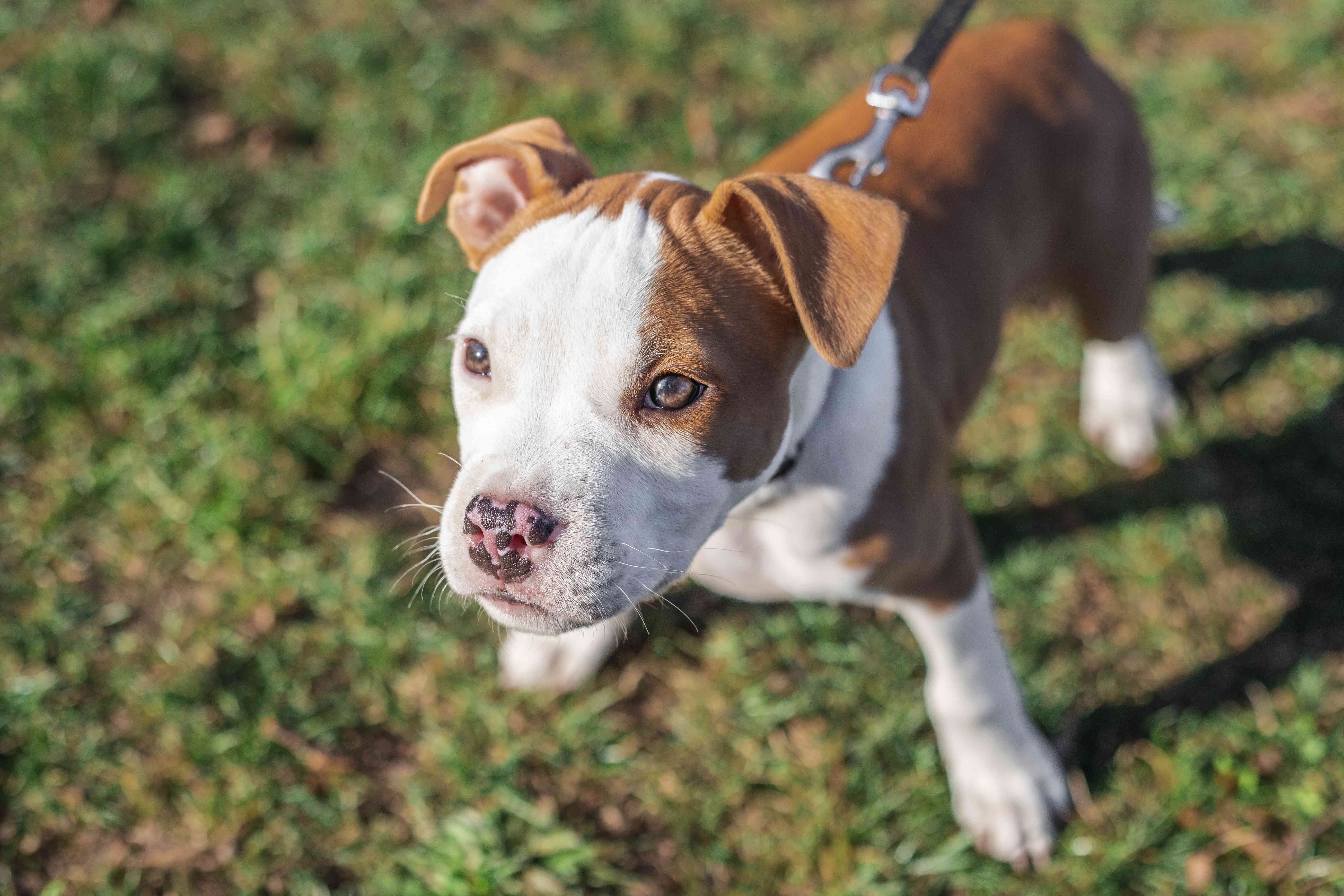 bulldog brown and white puppy on leash outside in grass