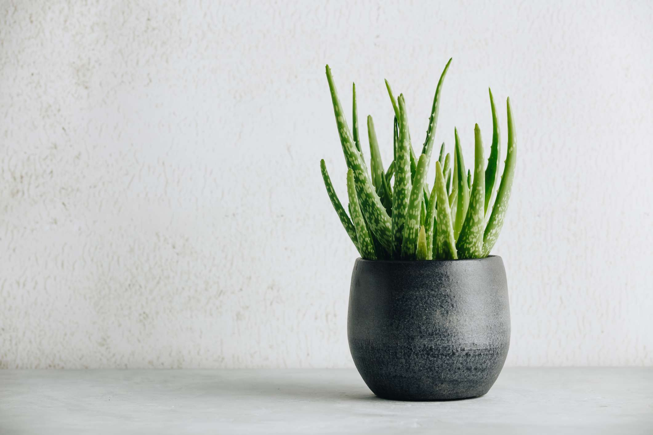 Aloe plant in a black pot with a white background