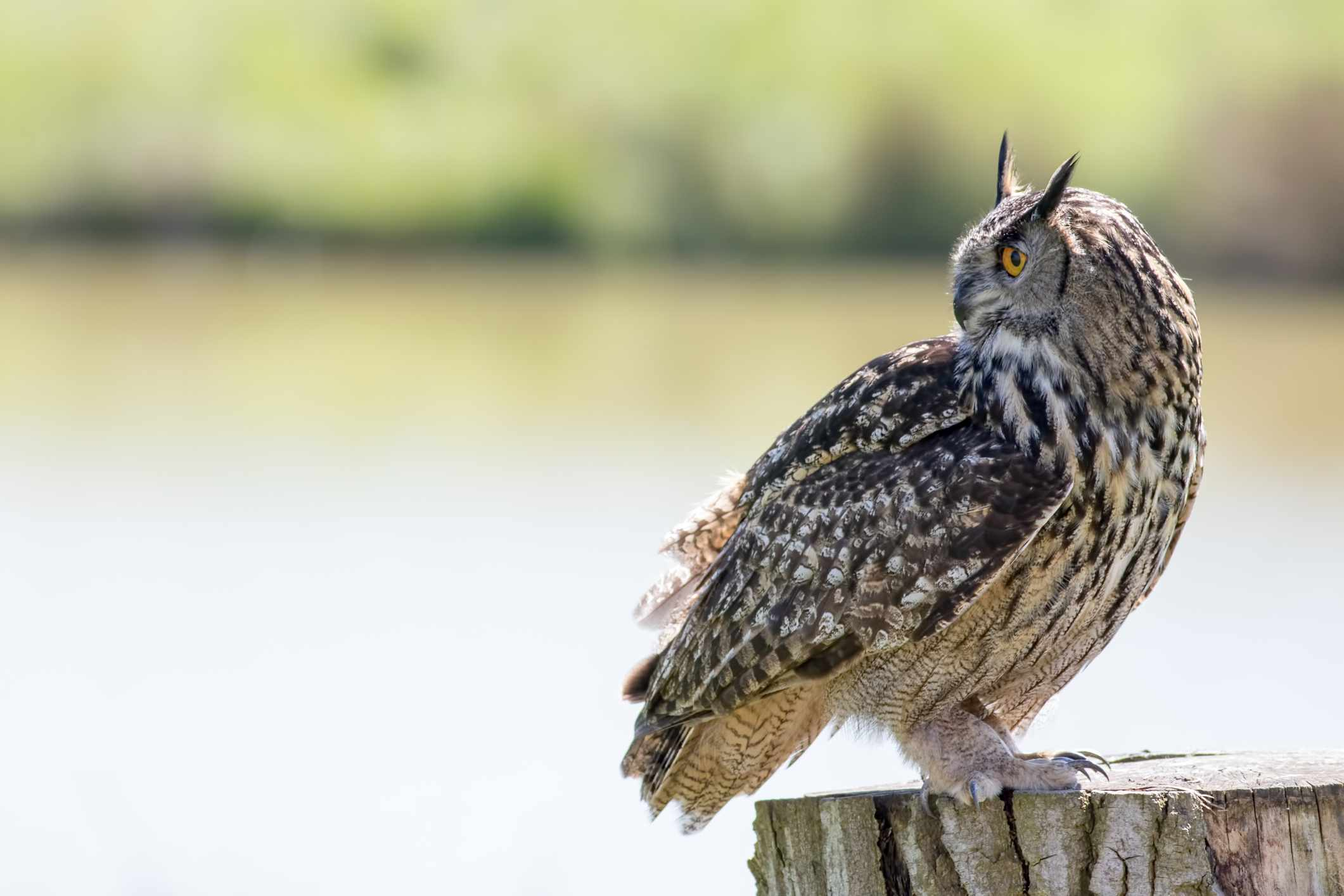 profile of brown eagle owl standing on stump with neck turned looking directly behind