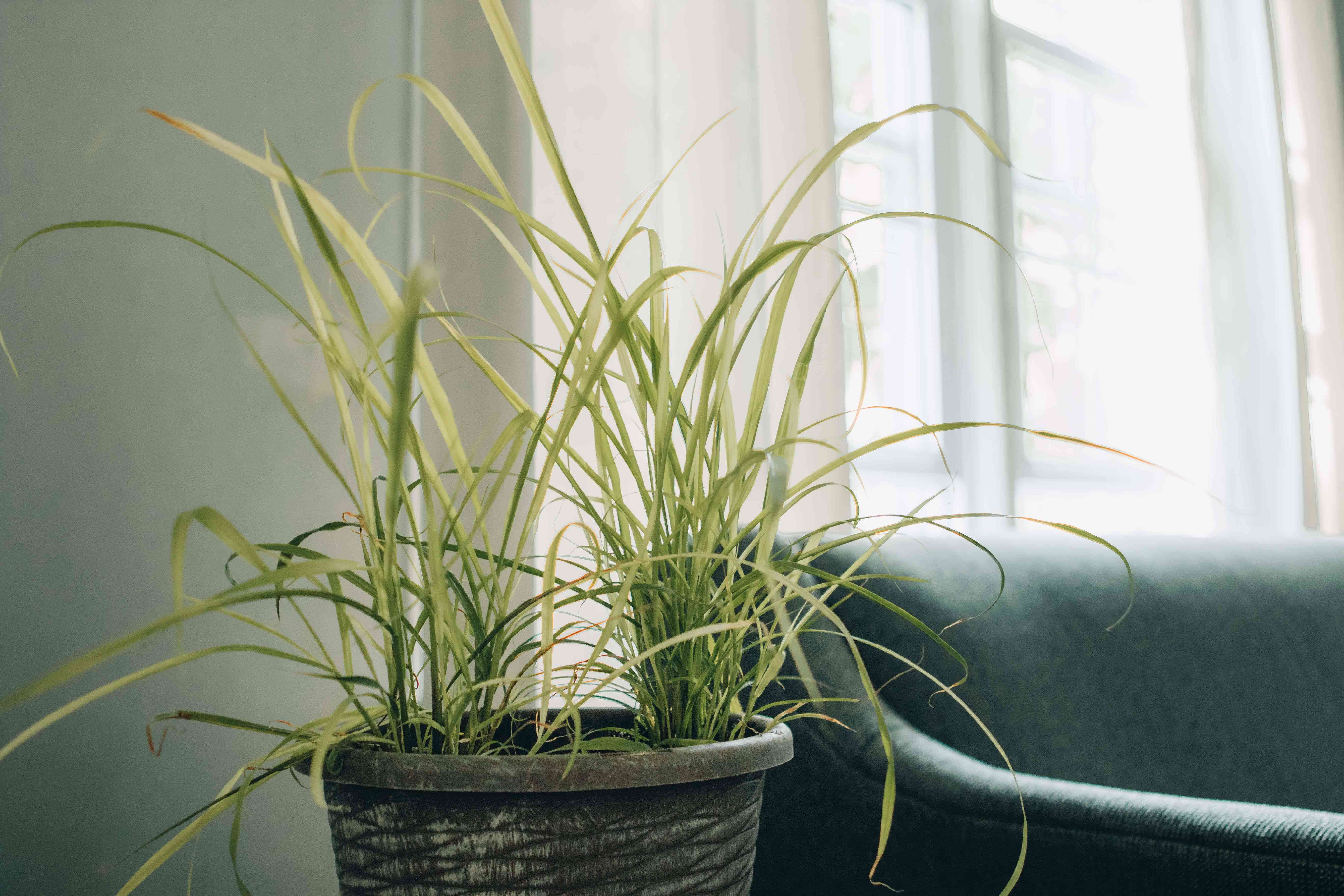 lemongrass in potted container with green couch and open window in background