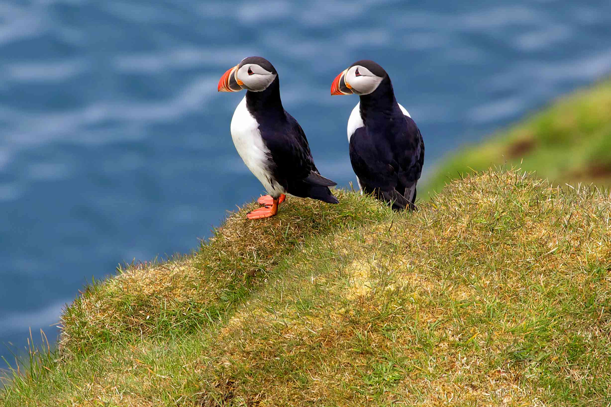 two puffins with white chests, black feathers, and orange beaks and webbed-feet standing on a green hill overlooking the ocean