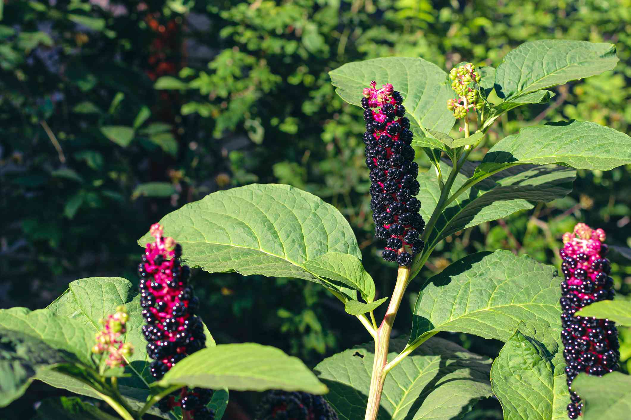 American Pokeweed with green leaves and bright pink and purple fruit