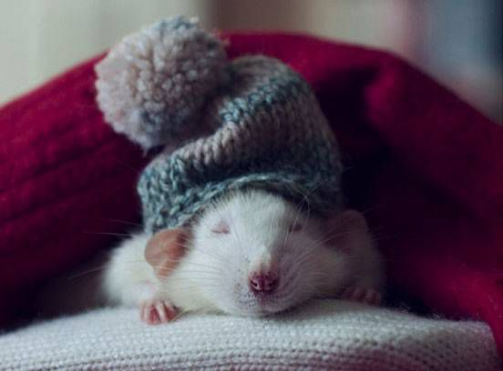 A rat with a sleeping cat on
