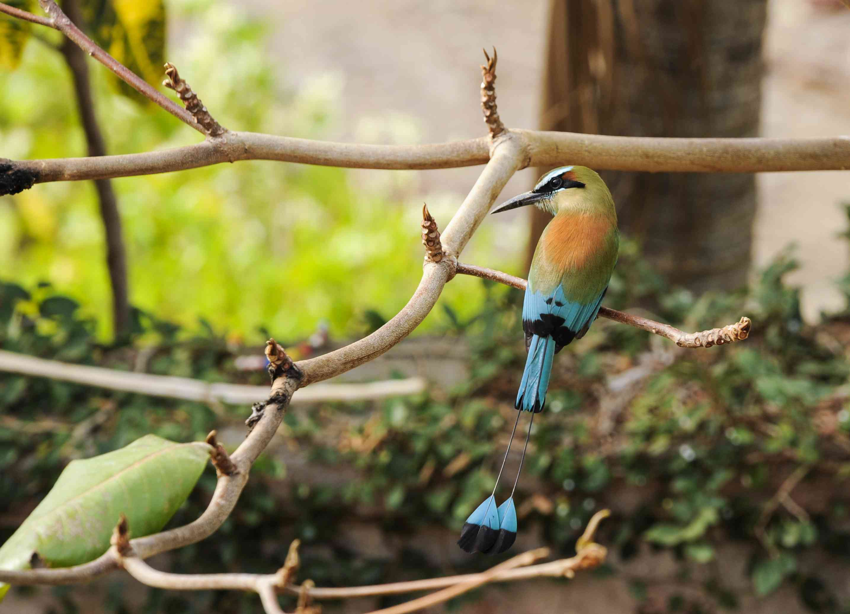 The turquoise-browed motmot bird perches on branch high up in a tree